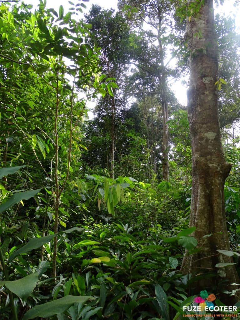 dense rainforest with Merapoh nature