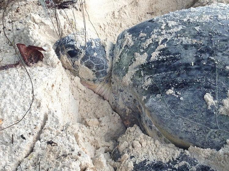 Molly turtle adoption perhentian islands