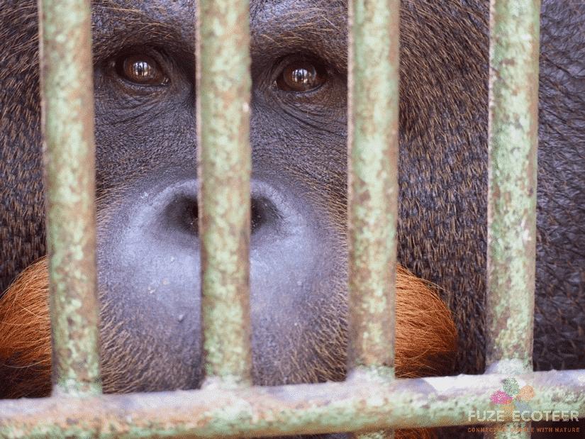Gogon the Orangutan on World Wildlife Day