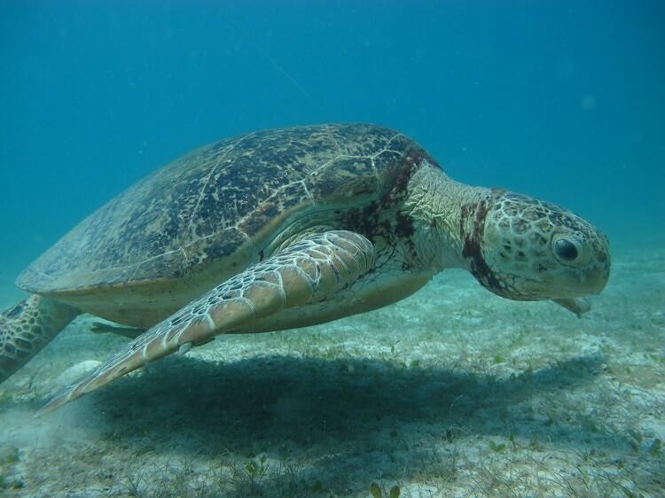 aliesha turtle adoption Perhentian Islands