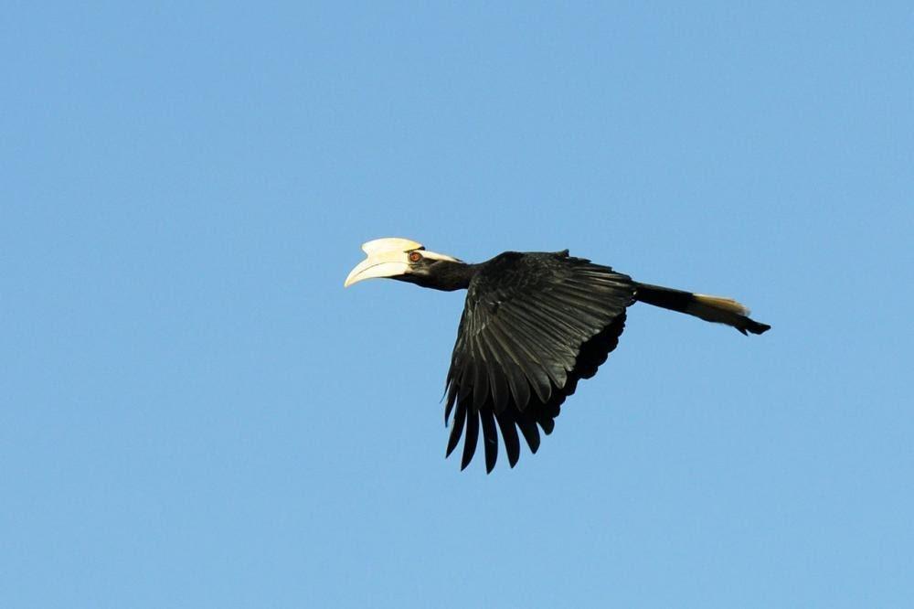 Black hornbill flying across a blue sky