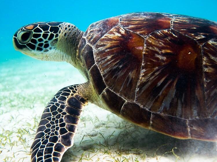 bojin turtle adoption perhentian islands