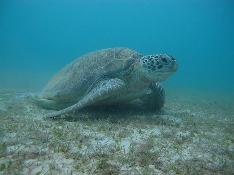 koningin turtle adoption perhentian islands