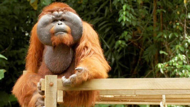 volunteer with orangutans matang