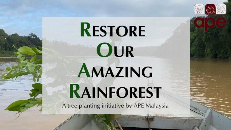 volunteer with orangutans in Sabah Borneo